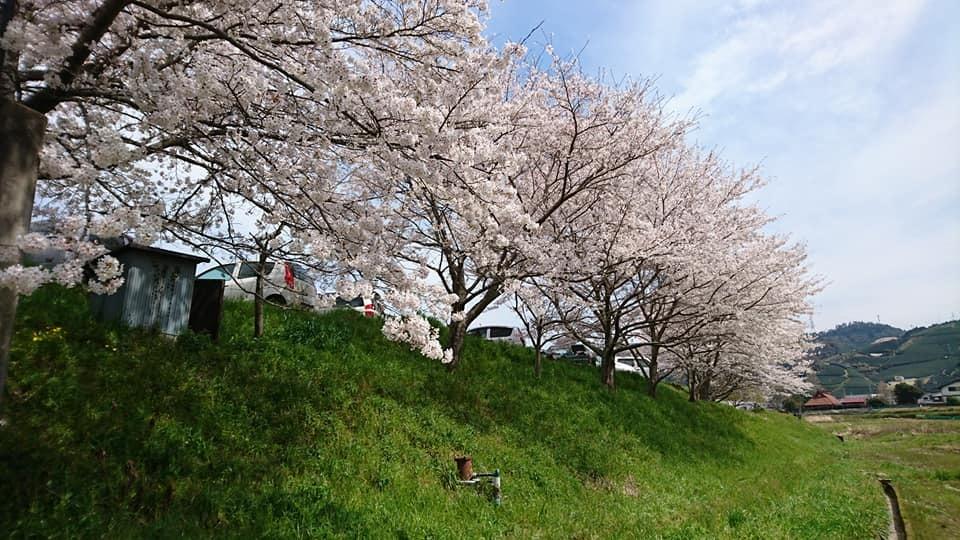 和束の桜_b0202651_20423002.jpg