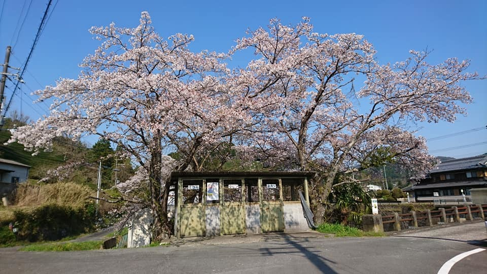 和束の桜_b0202651_20442403.jpg