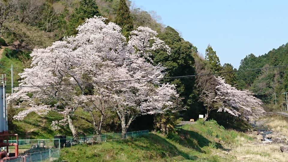 和束の桜_b0202651_20450004.jpg