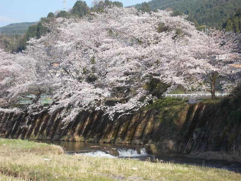 和束の桜_b0202651_20454801.jpg