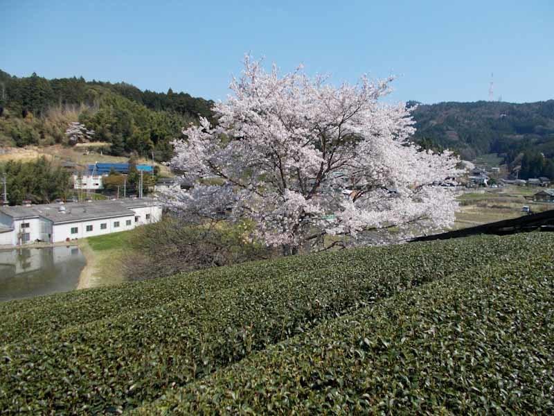 和束の桜_b0202651_20460845.jpg