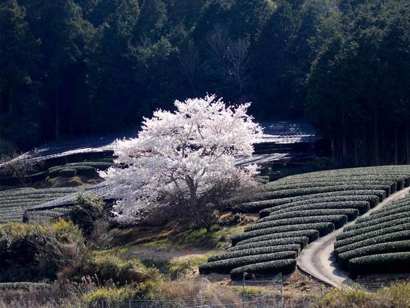 和束の桜_b0202651_20462827.jpg