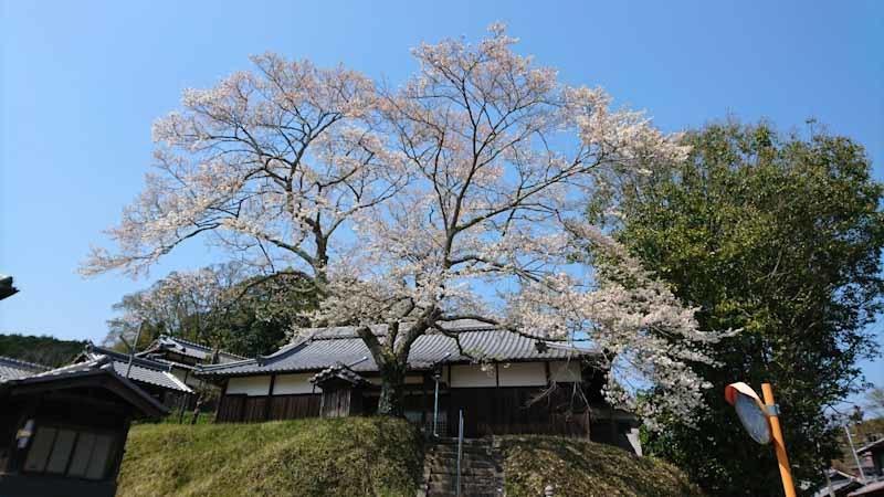 和束の桜_b0202651_20464551.jpg