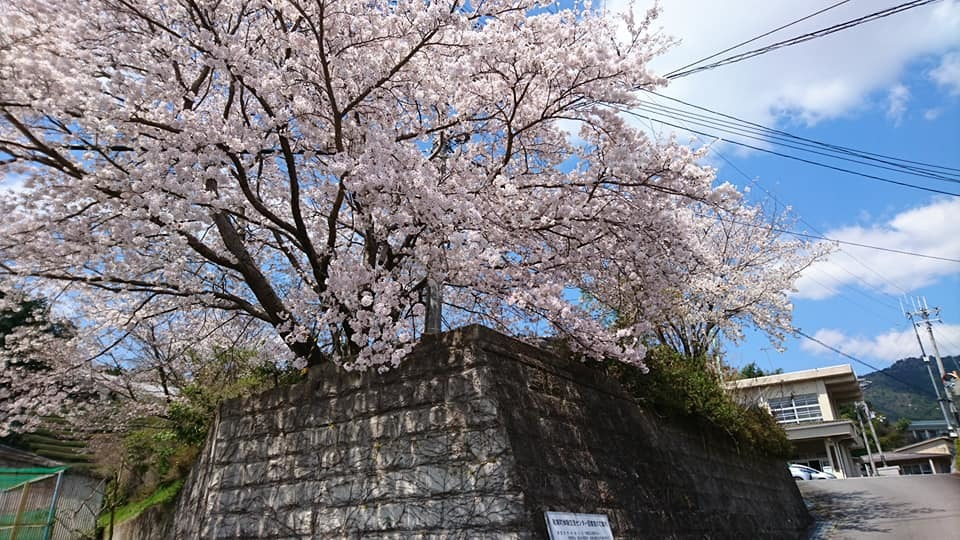和束の桜_b0202651_20473360.jpg