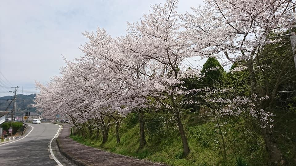 和束の桜_b0202651_20480562.jpg