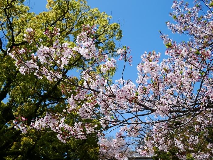 三分葉桜の和歌山城公園  2020-04-19 00:00   _b0093754_22535201.jpg