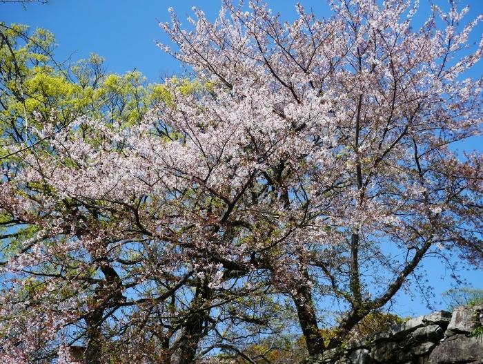 三分葉桜の和歌山城公園  2020-04-19 00:00   _b0093754_22542256.jpg