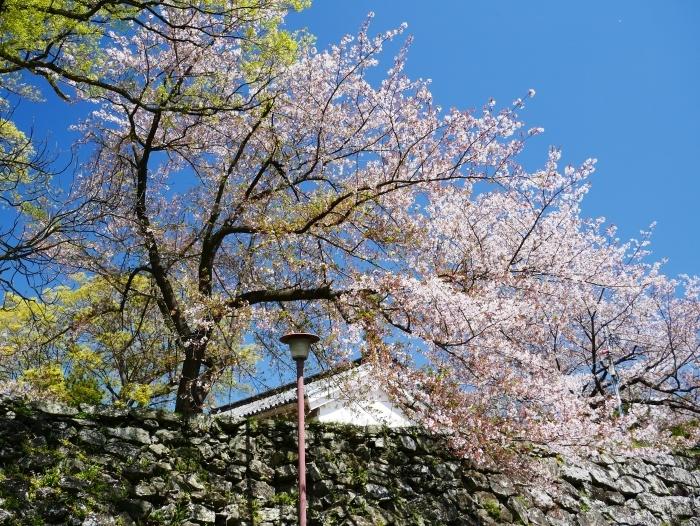 三分葉桜の和歌山城公園  2020-04-19 00:00   _b0093754_22543600.jpg