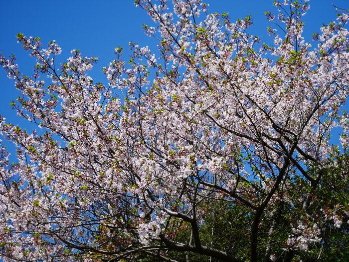 三分葉桜の和歌山城公園  2020-04-19 00:00   _b0093754_22544902.jpg