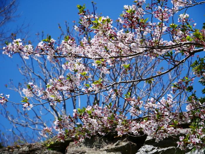 三分葉桜の和歌山城公園  2020-04-19 00:00   _b0093754_22553024.jpg