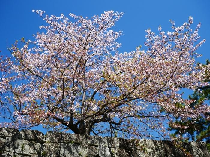三分葉桜の和歌山城公園  2020-04-19 00:00   _b0093754_22555475.jpg