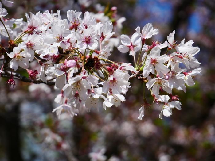 三分葉桜の和歌山城公園  2020-04-19 00:00   _b0093754_22560783.jpg