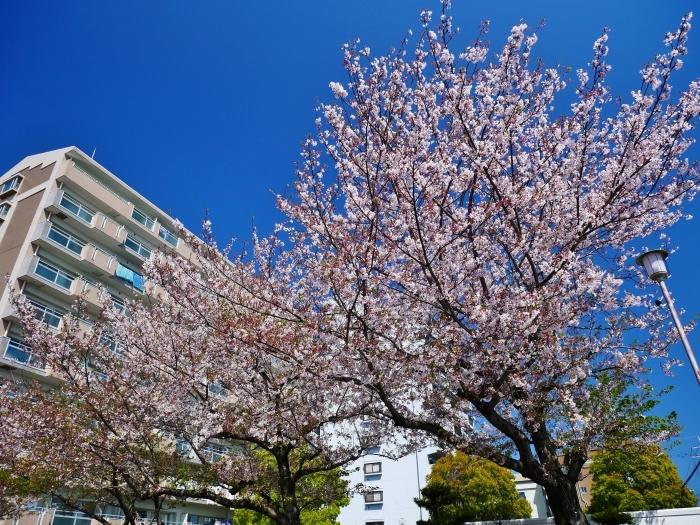 三分葉桜の和歌山城公園  2020-04-19 00:00   _b0093754_22562256.jpg