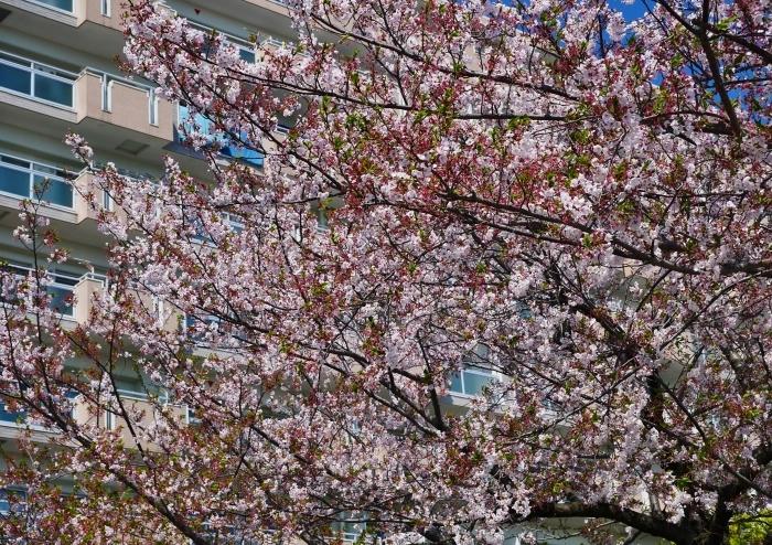 三分葉桜の和歌山城公園  2020-04-19 00:00   _b0093754_22563992.jpg