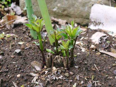 令和2年の『ダリアの球根』販売スタート!!独占販売や希少品種のまずは確実に芽吹く球根の17品種を販売開始!_a0254656_16352009.jpg