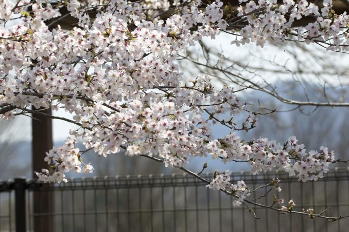 桜の中の鳥たち_b0148762_09154525.jpg