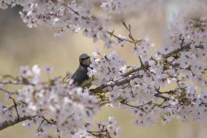 桜の中の鳥たち_b0148762_09154830.jpg