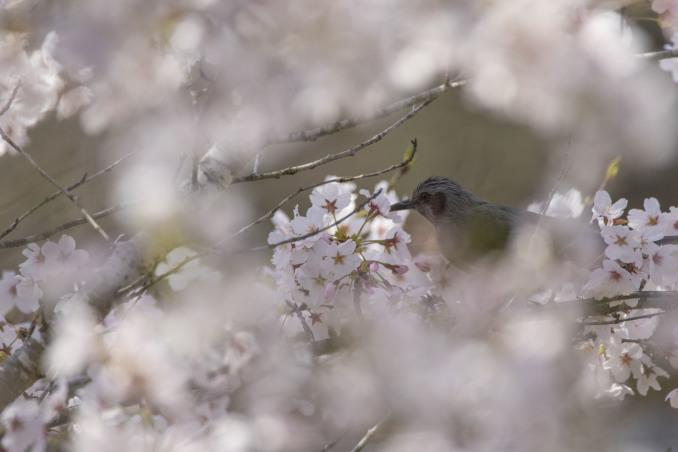 桜の中の鳥たち_b0148762_09155272.jpg