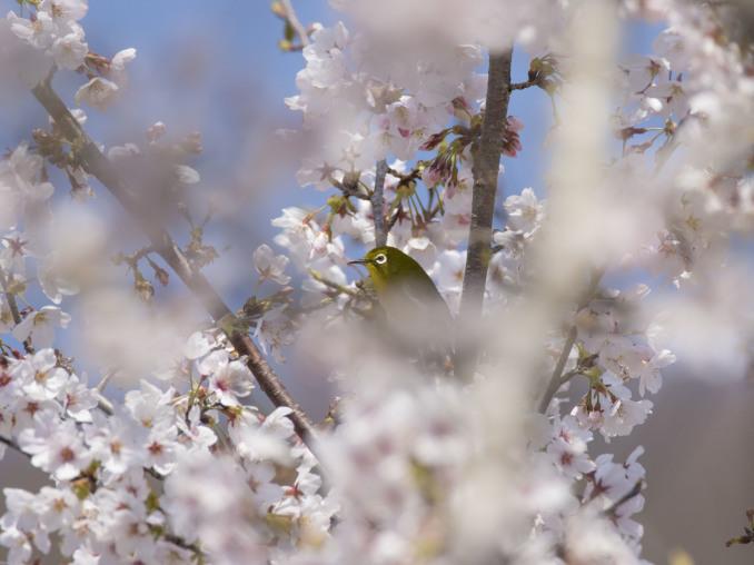 桜の中の鳥たち_b0148762_09155787.jpg