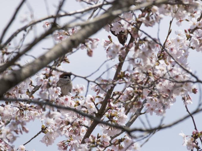 桜の中の鳥たち_b0148762_09160199.jpg
