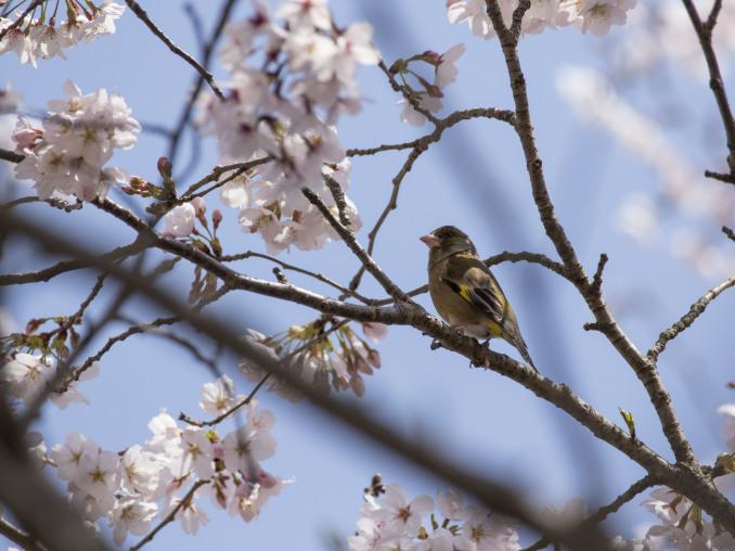 桜の中の鳥たち_b0148762_09160585.jpg