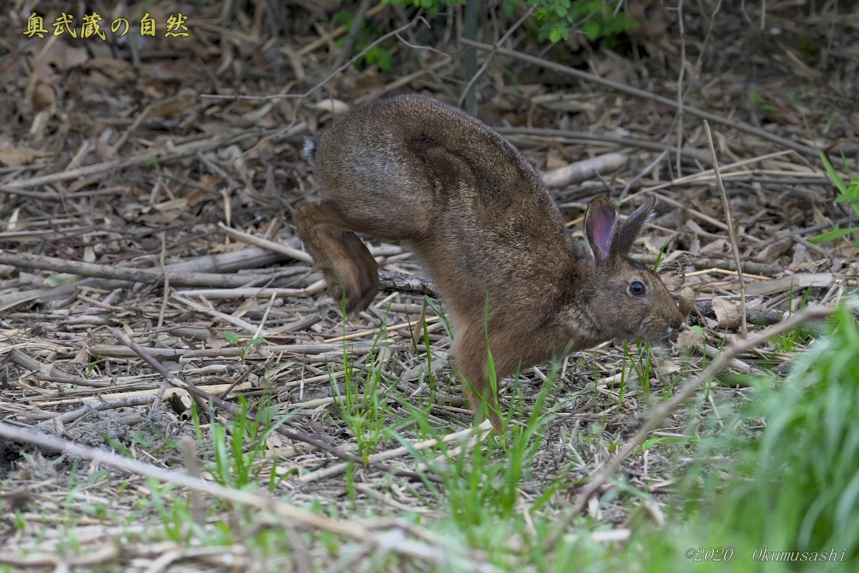 野ウサギ_e0268015_19141581.jpg
