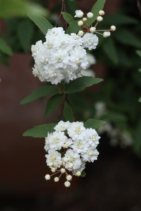 庭の花たち_d0150720_09560212.jpg