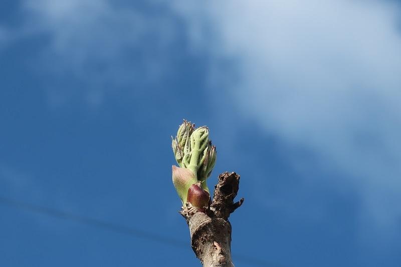 タラの芽のシーズン_f0076731_21090360.jpg