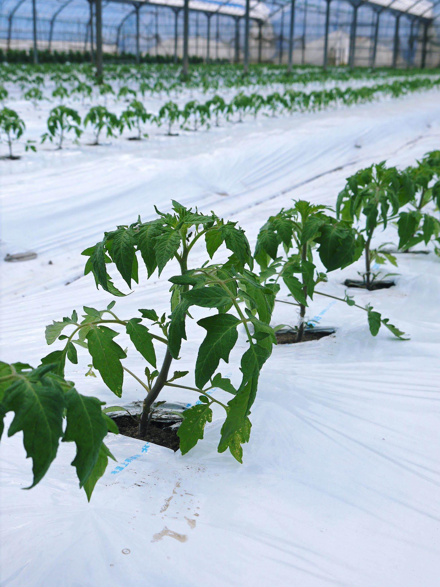 樹上完熟の朝採りトマト 令和2年度の出荷に向け、元気に育つ定植後の様子を現地取材_a0254656_16341309.jpg