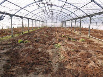 樹上完熟の朝採りトマト 令和2年度の出荷に向け、元気に育つ定植後の様子を現地取材_a0254656_16371484.jpg