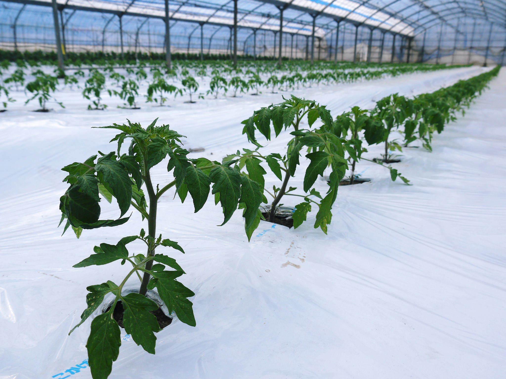 樹上完熟の朝採りトマト 令和2年度の出荷に向け、元気に育つ定植後の様子を現地取材_a0254656_16453346.jpg