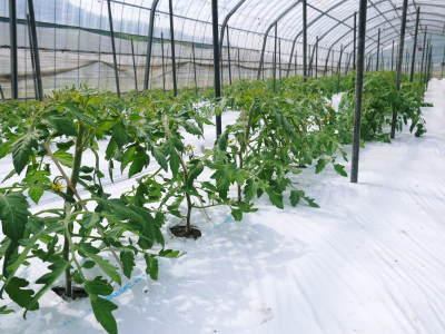 樹上完熟の朝採りトマト 令和2年度の出荷に向け、元気に育つ定植後の様子を現地取材_a0254656_16521159.jpg