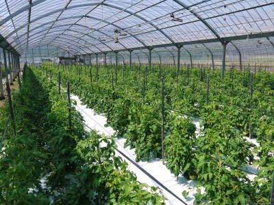 樹上完熟の朝採りトマト 令和2年度の出荷に向け、元気に育つ定植後の様子を現地取材_a0254656_17570040.jpg