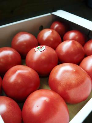 樹上完熟の朝採りトマト 令和2年度の出荷に向け、元気に育つ定植後の様子を現地取材_a0254656_18051341.jpg