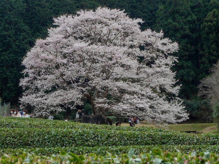 3月22日気持ちが乗らない竹原の一本桜よりもカタクリの花がきれいだった_a0206577_22101055.jpg