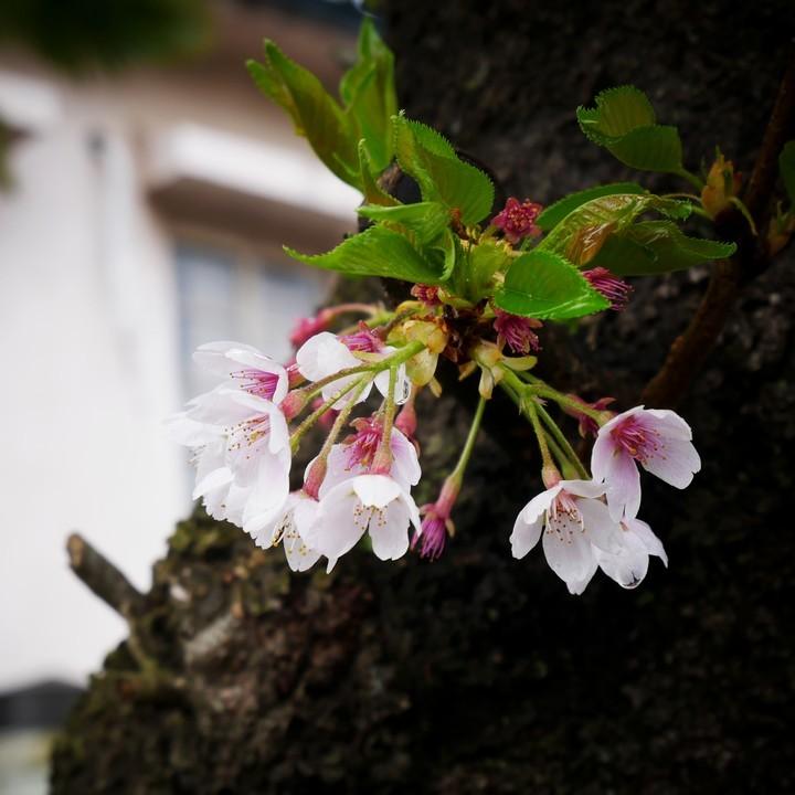 桜の終わり_a0268412_22212560.jpg