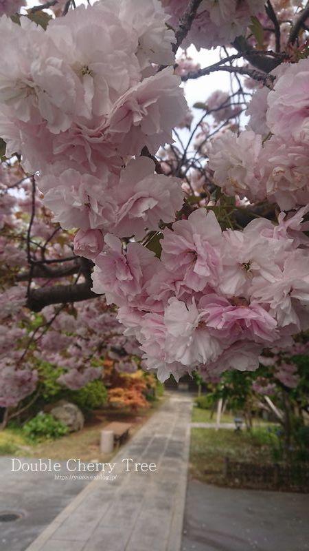 八重桜_f0156117_08334538.jpg