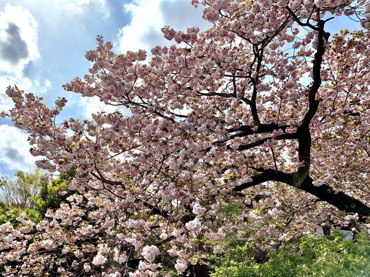 びっくりするほど美しい♡とても元気な八重桜と光の恵みと~上を見るといいことあるかも!~_b0298740_00003625.jpg