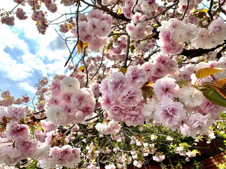 びっくりするほど美しい♡とても元気な八重桜と光の恵みと~上を見るといいことあるかも!~_b0298740_00004135.jpg
