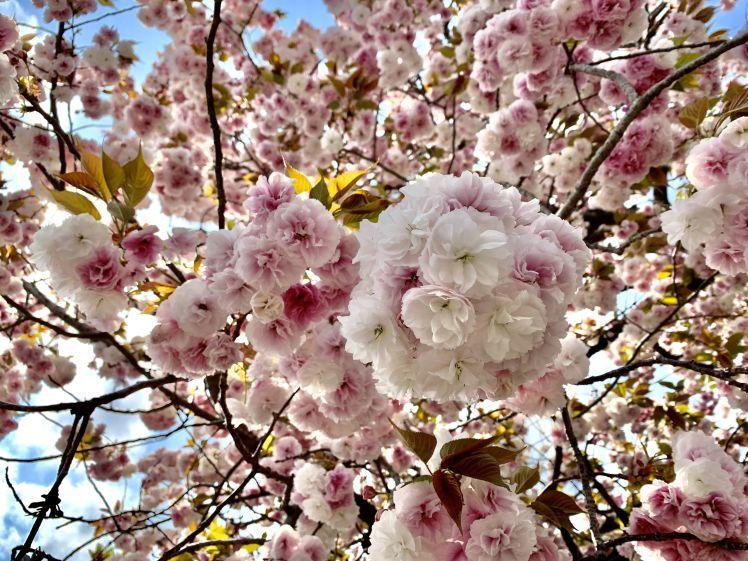 びっくりするほど美しい♡とても元気な八重桜と光の恵みと~上を見るといいことあるかも!~_b0298740_00004724.jpg
