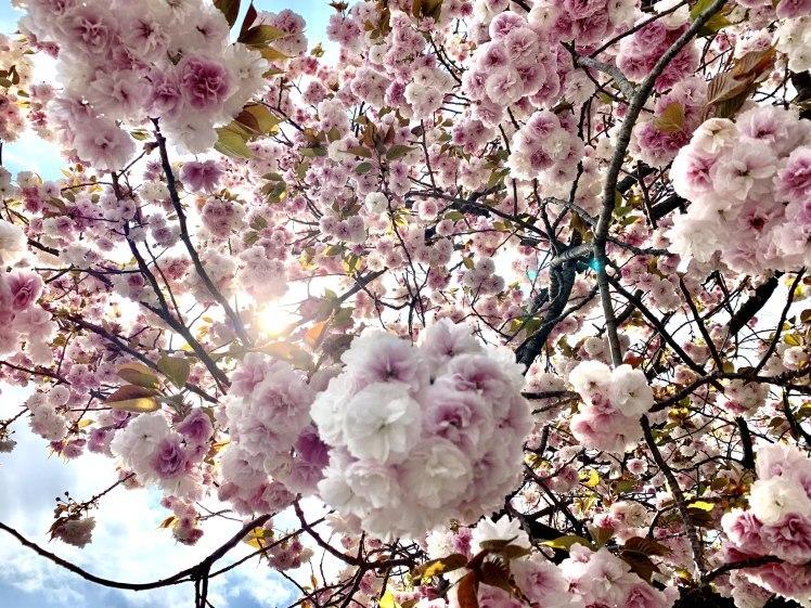 びっくりするほど美しい♡とても元気な八重桜と光の恵みと~上を見るといいことあるかも!~_b0298740_00005488.jpg