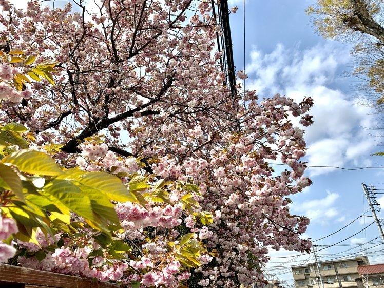 びっくりするほど美しい♡とても元気な八重桜と光の恵みと~上を見るといいことあるかも!~_b0298740_00005930.jpg