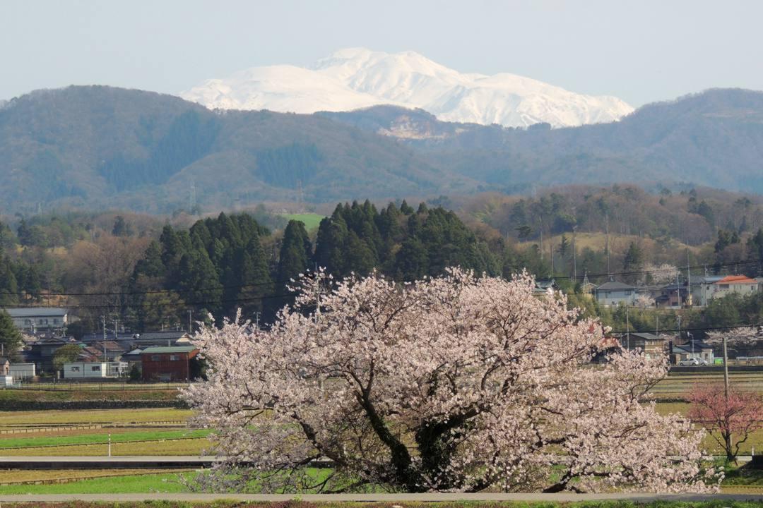 桜 2020_e0403850_20015614.jpg