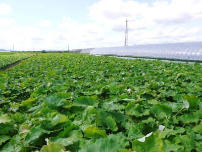 有機栽培の水田ごぼう 令和2年の出荷はGW明けから!栽培方法を変え長期にわたり出荷します!_a0254656_18062991.jpg