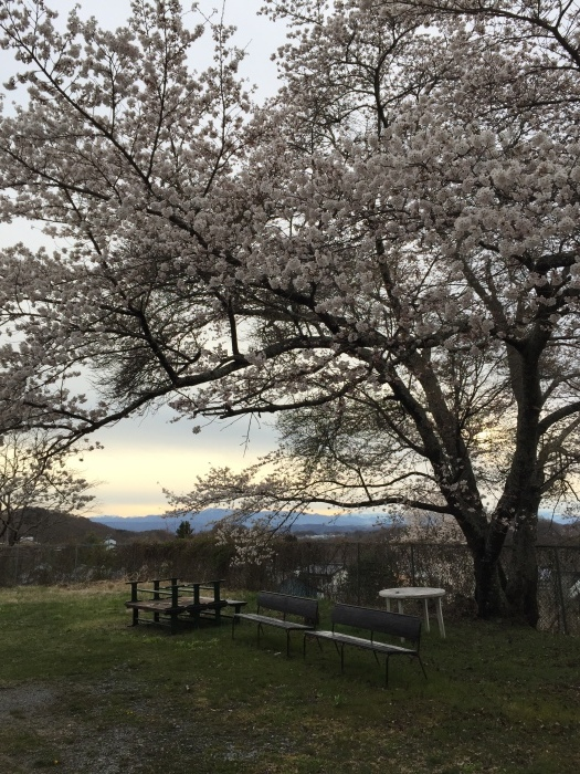 面替区の桜も満開になってきました。_e0091670_12553883.jpeg