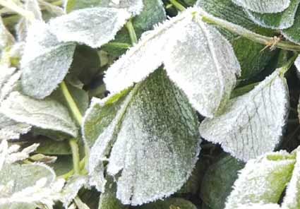 霜が降りました。クローバーも、タンポポも、真っ白。_b0126182_22014764.jpg
