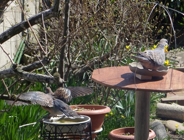 今年もキジバトの季節♪ スズメの餌台を新しくすることなど♪_a0136293_16563968.jpg