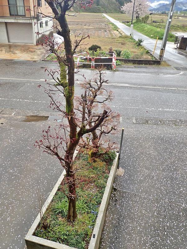 散り始めた桜_c0336902_19154935.jpg