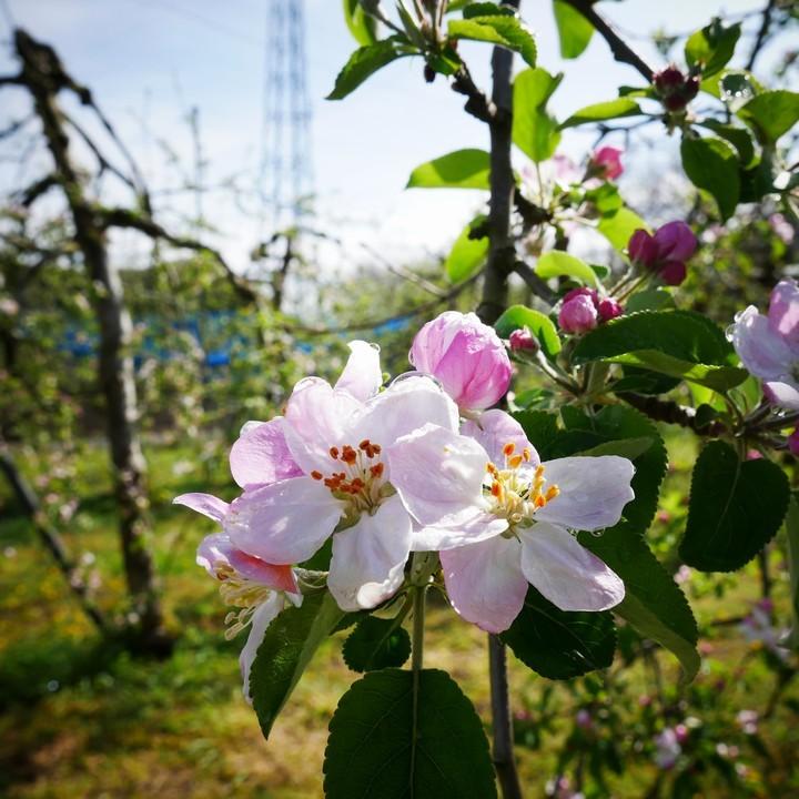 林檎の花_a0268412_20564084.jpg