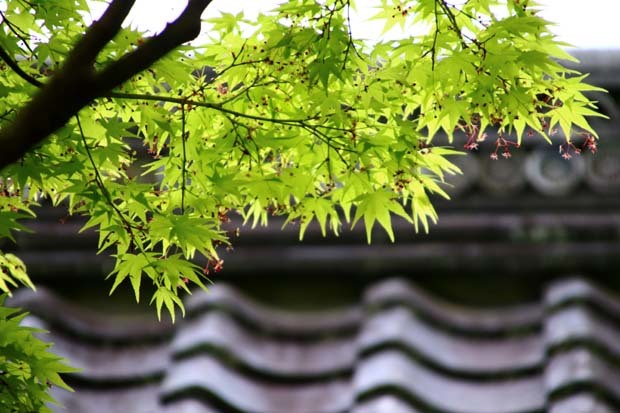 新緑の始まり 常照寺_e0048413_21080893.jpg